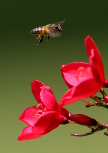 the-visitor-bee-1436057-m